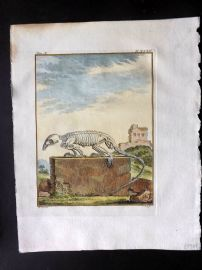 Buffon 1766 Antique Hand Col Print. Rodent Skeleton 10-32
